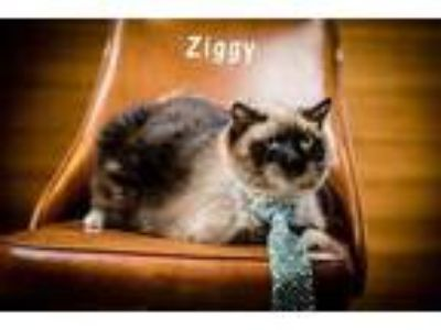 Adopt Ziggy a Cream or Ivory Snowshoe / Domestic Shorthair / Mixed cat in North