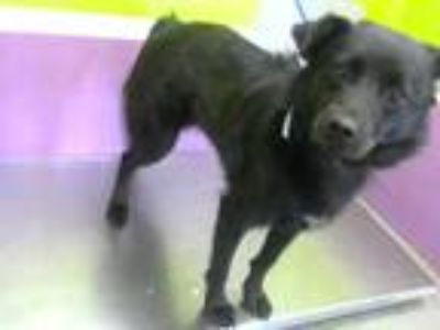 Adopt NIGHTLY a Black - with White Border Collie / Mixed dog in Houston