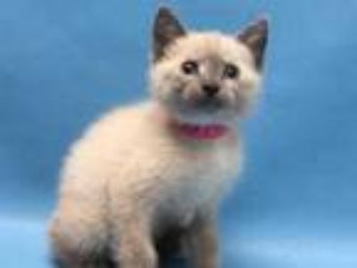 Adopt Lucy a Gray or Blue Siamese / Domestic Shorthair / Mixed cat in Coon