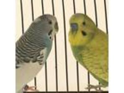 Adopt Tic Tac a White Parakeet - Other / Parakeet - Other / Mixed bird in West