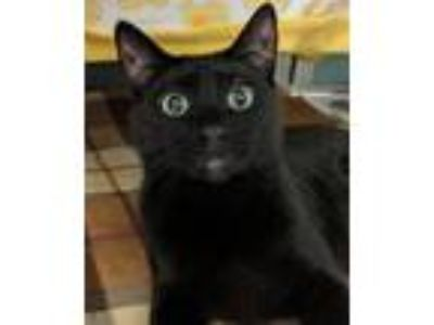 Adopt Baelish a Domestic Short Hair