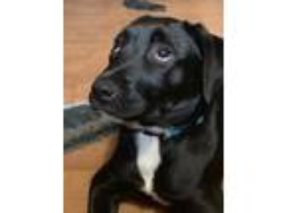 "Adopt Chubby "" Lab Puppy Big Ole Boy "" a Labrador Retriever"
