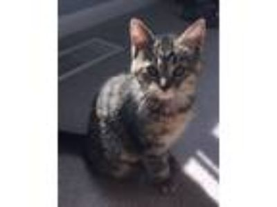 Adopt Kittens - Lily & Paisley a Domestic Short Hair