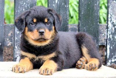 Rottweiler PUPPY FOR SALE ADN-79222 - Rottweiler Puppy for Sale