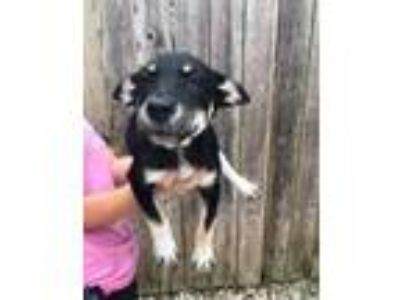 Adopt Mabeline a Shepherd, Mixed Breed