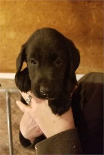 AKC Lab Puppies!!