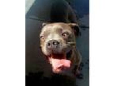 Adopt SKYE a Gray/Silver/Salt & Pepper - with White Boxer / American Pit Bull