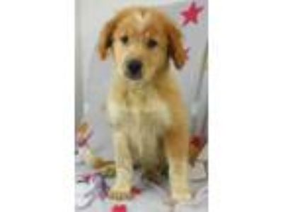Adopt Franny a Red/Golden/Orange/Chestnut Golden Retriever / Husky / Mixed dog