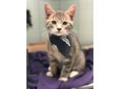 Adopt Mushroom a Domestic Short Hair, Tiger