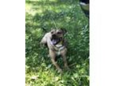 Adopt Charlie a Brindle Terrier (Unknown Type, Medium) / Mixed dog in
