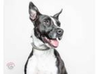 Adopt Blaze a Black - with White Cattle Dog / Border Collie / Mixed dog in