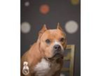 Adopt Marvel a Tan/Yellow/Fawn Pit Bull Terrier / Mixed dog in Portland
