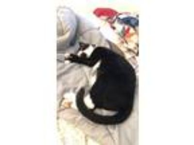Adopt Mimi a Black & White or Tuxedo Domestic Shorthair / Mixed cat in Santa
