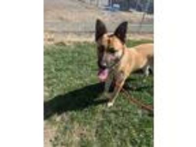 Adopt LOUISE a Brown/Chocolate German Shepherd Dog / Mixed dog in Tangent