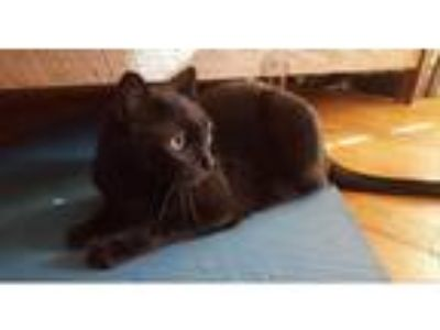 Adopt Jet a All Black Domestic Shorthair (short coat) cat in Bentonville