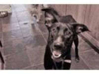 Adopt Willie - available 6/16 a German Shepherd Dog, Black Labrador Retriever