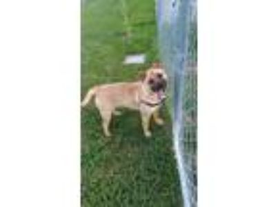 Adopt Gurly girl a Black - with Brown, Red, Golden, Orange or Chestnut Chow Chow