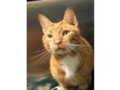 Adopt Mr Magoo a Domestic Short Hair