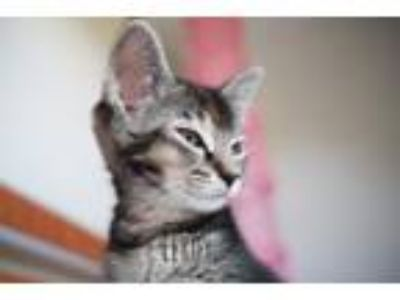 Adopt Elroy Jetson a Domestic Short Hair