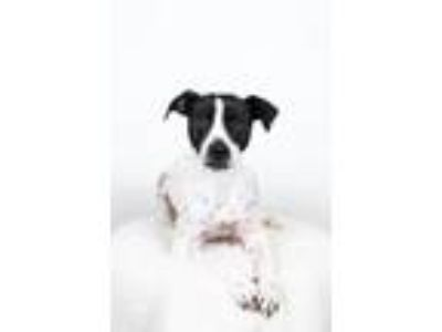 Adopt Shine a Pointer, Pit Bull Terrier