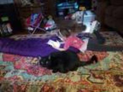 Adopt Chloe a Black (Mostly) American Shorthair / Mixed cat in Tonawanda
