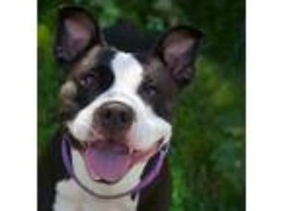 Adopt Lilo a American Pit Bull Terrier / Mixed dog in Troutdale, OR (25591880)