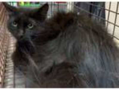 Adopt George a Domestic Mediumhair / Mixed cat in Birmingham, AL (25665664)