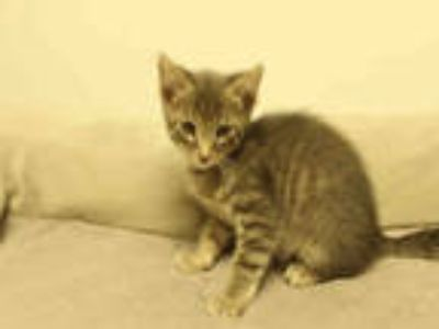 Adopt MARIO a Gray, Blue or Silver Tabby American Shorthair / Mixed (short coat)
