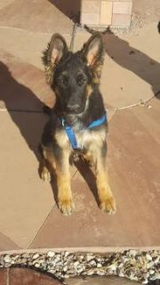 German Shepherd Dog PUPPY FOR SALE ADN-52714 - Strong and healthy 5mth GSD puppies