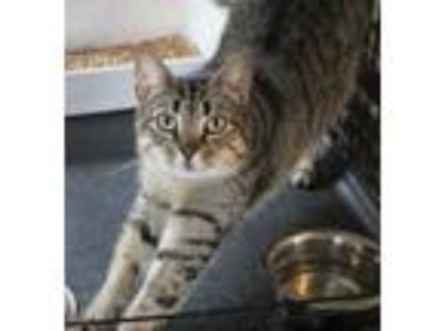 Adopt Anna a American Shorthair