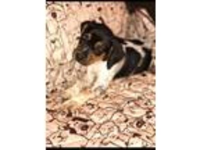 Adopt Ruby a Bluetick Coonhound / Hound (Unknown Type) / Mixed dog in Rocky