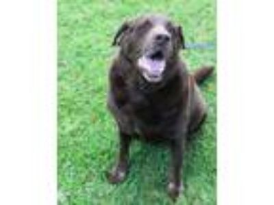 Adopt Judy a Brown/Chocolate Labrador Retriever / Mixed dog in Honolulu