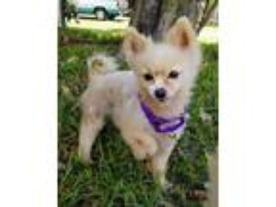Adopt Memphis a Pomeranian / Mixed dog in Fort Myers, FL (25542937)