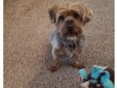 Adopt Scrappy a Terrier