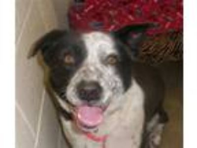 Adopt MAY MAY a Black - with White Australian Cattle Dog / Border Collie / Mixed