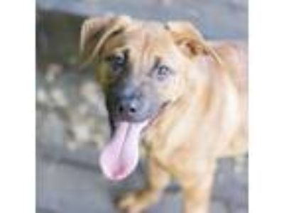 Adopt Myrtle a Shepherd, Mixed Breed