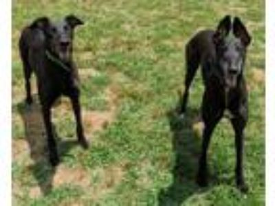 Adopt Cat and Jimmy a Greyhound