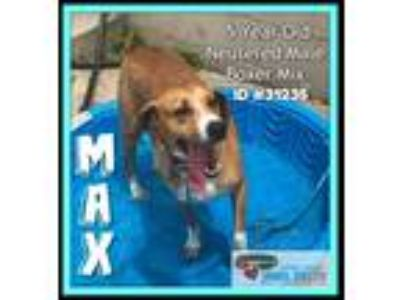 Adopt Max a Hound (Unknown Type) / Boxer / Mixed dog in Burlington