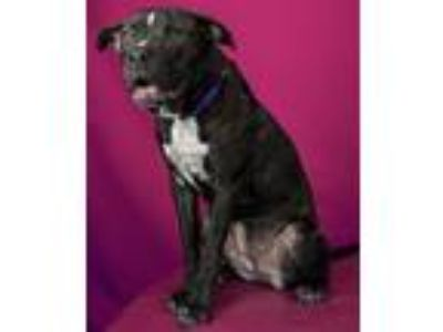 Adopt D'Nice a Pit Bull Terrier