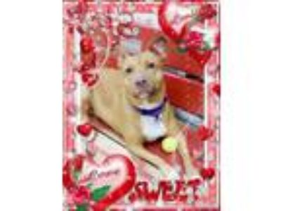Adopt Laurel a Red/Golden/Orange/Chestnut Vizsla / American Pit Bull Terrier /