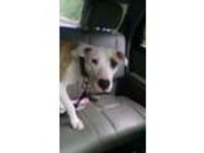 Adopt Zeke a White - with Brown or Chocolate American Pit Bull Terrier / Mixed