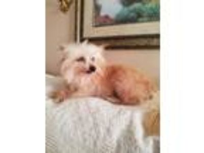 Adopt Cheeto a Yorkshire Terrier