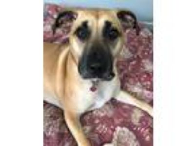Adopt Liza a Tan/Yellow/Fawn - with Black Black Mouth Cur / Hound (Unknown Type)