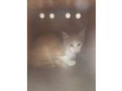 Adopt FERAL 1900 BLOCK RAYBURN a Orange or Red Domestic Shorthair / Domestic