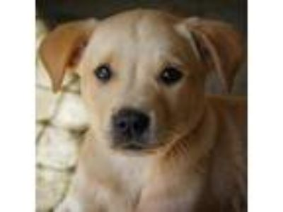 Adopt Captain America a Tan/Yellow/Fawn Labrador Retriever dog in Starkville
