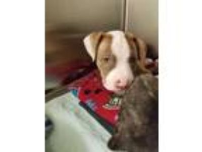 Adopt Lolly a Brown/Chocolate American Pit Bull Terrier / Mixed dog in Irving
