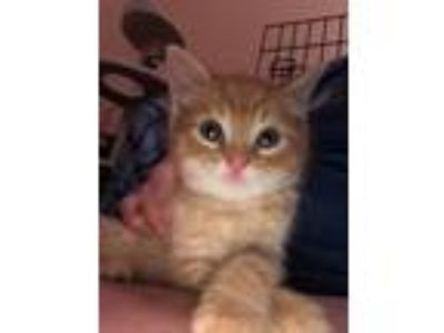 Adopt Baxter a Orange or Red (Mostly) Domestic Shorthair (short coat) cat in