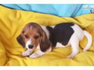 Tricolored beagle Puppy! micrcohipped
