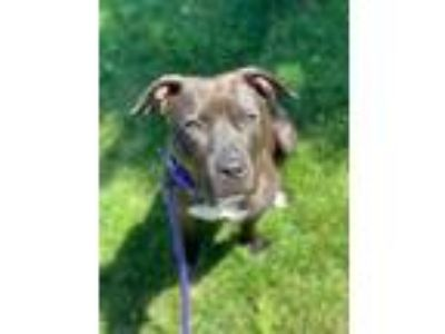 Adopt Kindle a Black American Pit Bull Terrier / Mixed dog in Kansas City