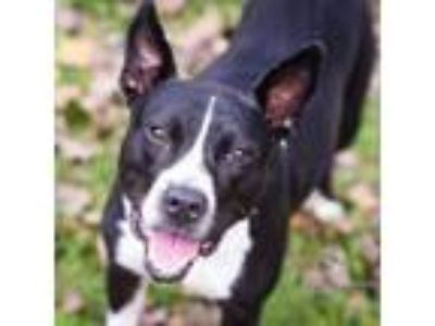 Adopt June Bug - In Foster a Terrier, Pit Bull Terrier